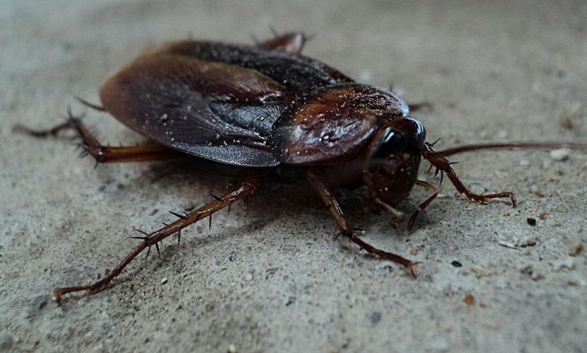 Domowe sposoby na karaluchy